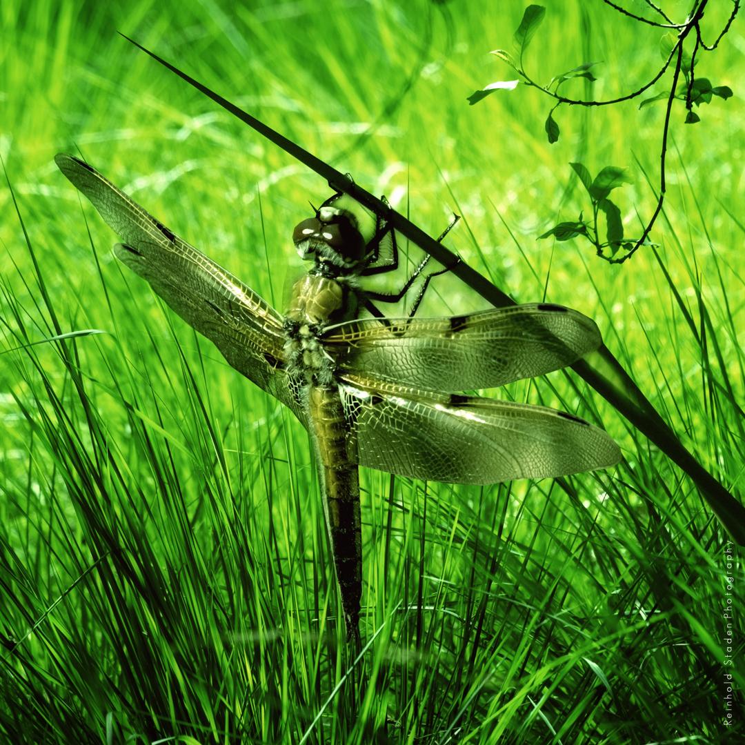 RSP - Reinhold Staden Photography - Dragonfly